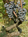 Old vines (stalk) with the grapes. In vineyard Stock Photography