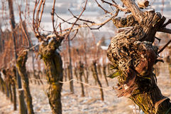 Old vines in a vineyard in winter Royalty Free Stock Photo