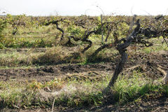 Old vineyard - 10. Old vineyard in autumn after the harvest in Bulgaria Royalty Free Stock Photos