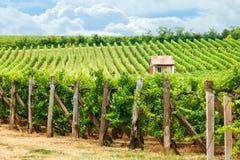 Old vineyard of Blaufränkisch (blue Frankish) grape Stock Images