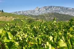 Old vineyard at Maury. Landscape with Queribus castle Stock Photo