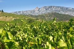 Old vineyard at Maury Stock Photo