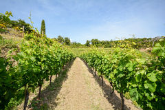 Old vineyard in the tuscany winegrowing area, Italy. Europe Royalty Free Stock Image