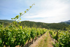 Old vineyard in the tuscany winegrowing area, Italy. Europe Royalty Free Stock Photos