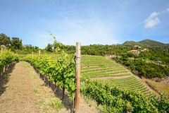 Old vineyard in the tuscany winegrowing area, Italy. Europe Stock Photography
