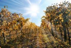 Old vineyard under blue sky Stock Photo