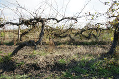 Old vineyard - 1. Old vines vineyard after harvest in autumn in Bulgaria Stock Image