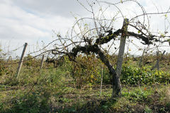Old vineyard - 2. Old vines vineyard after harvest in autumn in Bulgaria Stock Photography