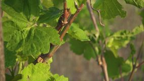 Old vineyard with young shoots slow motion. An old vineyard with young shoots and immature bunches of grapes swaying in the wind slow motion stock video
