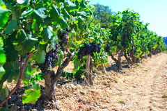 Old vineyards Royalty Free Stock Images