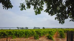 Old vineyards in Maguelone near Montpellier, France, surrounded. By salty sea water bays in summer stock image