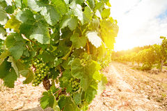 Old vineyards with red wine grapes in the Alentejo wine region near Evora, Portugal Stock Photography