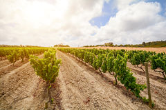 Old vineyards with red wine grapes in the Alentejo wine region near Evora, Portugal Stock Images