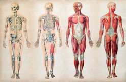 Old vintage anatomy charts of the human body. Showing the skeletal system and various muscles, four figures in a row in different orientations Royalty Free Stock Photography