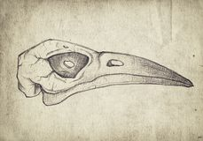 Old vintage paper with hand drawn bird skull. Grunge background royalty free stock photo