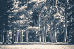 Old vintage photo. Park forest trees trunks glade. Sunny day shadow sunlight pine fir trees copy space Royalty Free Stock Images
