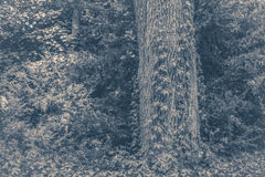 Old vintage photo. Tree trunk ivy plish Stock Image
