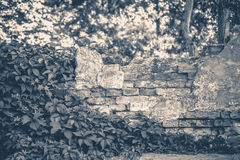 Old vintage photo. Wall brick ivy twisted Royalty Free Stock Photography