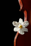 Old violin. Beautiful old violin with Narcissus on black background Stock Photo