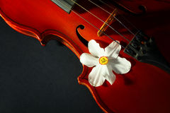 Old violin. Beautiful old violin with Narcissus on black background Royalty Free Stock Photos
