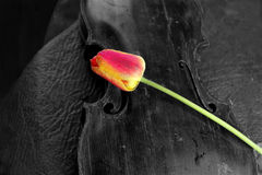 Old Violin And Flower. Old violin and red tulip, black and white shot with color accent on flower, concept of the arts Stock Photography