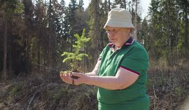 Old volunteer with the young tree in her hands. Senior volunteer looking on the tree in her hands. Save the earth concept stock photography