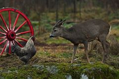 Old wagon wheel and old breed of chicken and wild Roe deer royalty free stock photo