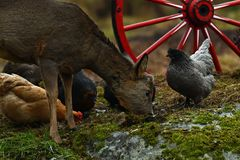 Old wagon wheel and old breed of chicken and wild Roe deer royalty free stock images