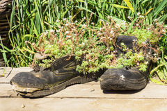 Old walking boots transformed into pots Royalty Free Stock Photo