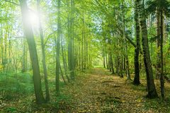 Old walking path in sunny green forest. Trees nature background Stock Images