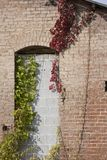 Old wall. Old brick wall with vines Stock Photo