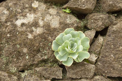 Old wall with Aeonium Royalty Free Stock Image