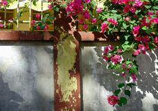 Old wall with a Bougainvillea plant Stock Photography