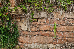 Old wall. Old brick wall covered with ivy Royalty Free Stock Photos