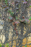 Old wall covered with dry ivy Stock Image