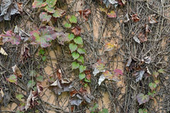 Old wall covered with dry ivy Stock Photos