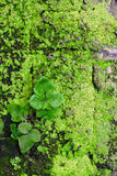 Old wall covered with moss Royalty Free Stock Photography