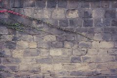 Old wall with covered with red green and orange ivy leaves parthenocissus tricuspidata veitchii royalty free stock images
