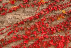 The The old wall covered with scarlet red leaves Stock Images