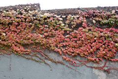 Old wall with green creeper and red leaves Stock Images