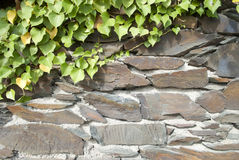 Old wall with ivy Royalty Free Stock Image