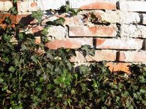 Old wall with ivy Royalty Free Stock Images