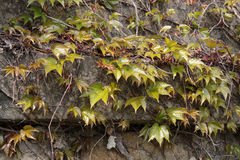 Old wall with ivy Royalty Free Stock Photos