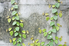 Old wall with ivy plant Royalty Free Stock Photo