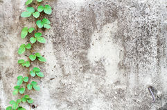 Old wall with ivy plant Stock Image