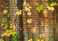 Old wall and plant Royalty Free Stock Photos
