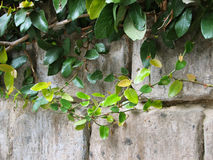 Old wall and plants. Plants on the background of old stone wall royalty free stock photo