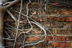 Old wall and root of tree (vignette style) Royalty Free Stock Photography