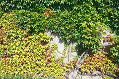Old wall shrouded by ivy foliage in autumn Royalty Free Stock Photo