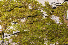 Old wall texture with moss Royalty Free Stock Photography
